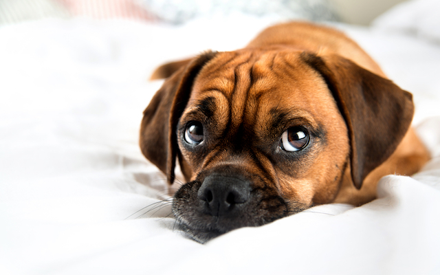 Dog laying looking